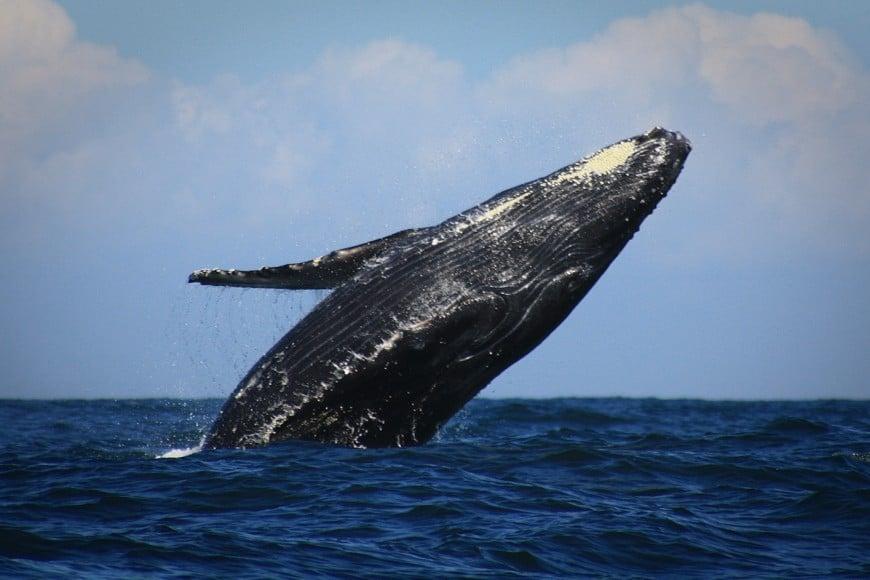 Humpback Whale in islas marietas